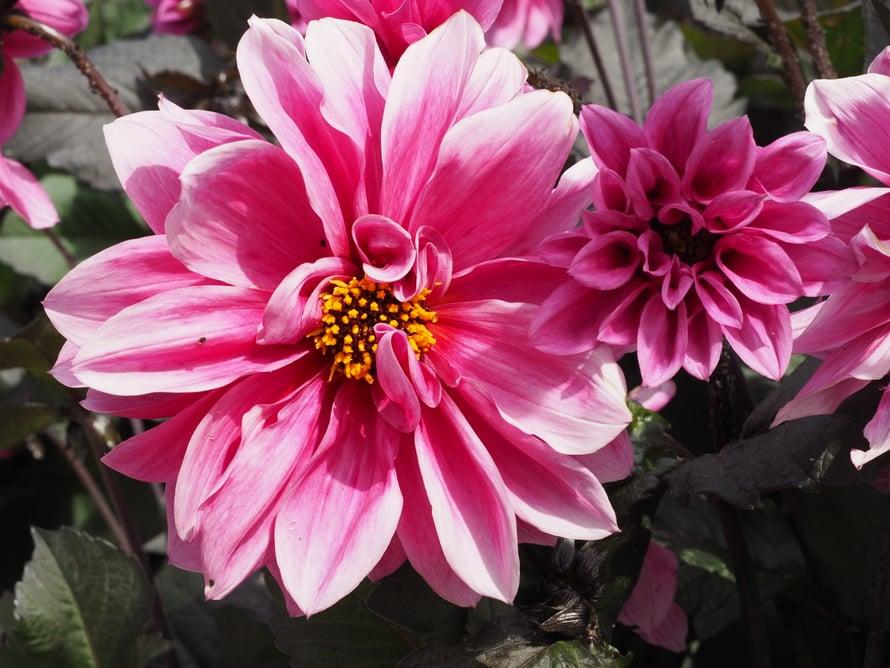 Punainen kesäkukkapenkki on yksi puutarhan kohokohdista. Ylin daalia on Bishop of Landaff, keskimmäinen on kartanon nimikkodaalia Wakehurst ja alin, pinkki daalia on lajiketta Fascination. Peruspunaiset penstemonit eli pipot ovat kukkapenkin valtalajike daalioiden ohella.