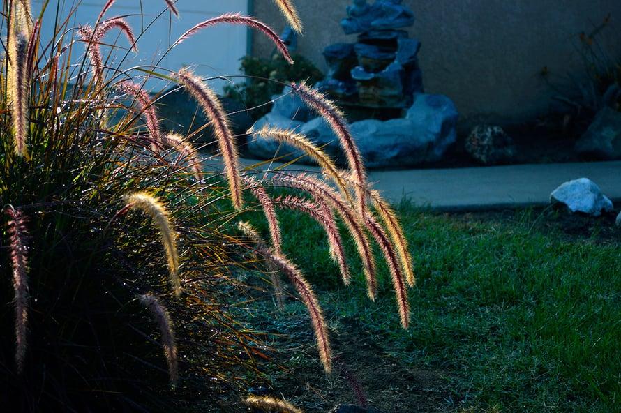 Heinäkasvit kuten arabian sulkahirssi yleistyvät parvekkeillakin.