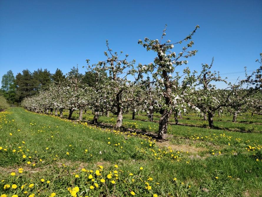 Valtaosa kaupan kotimaisista omenista tulee Ahvenanmaalta.