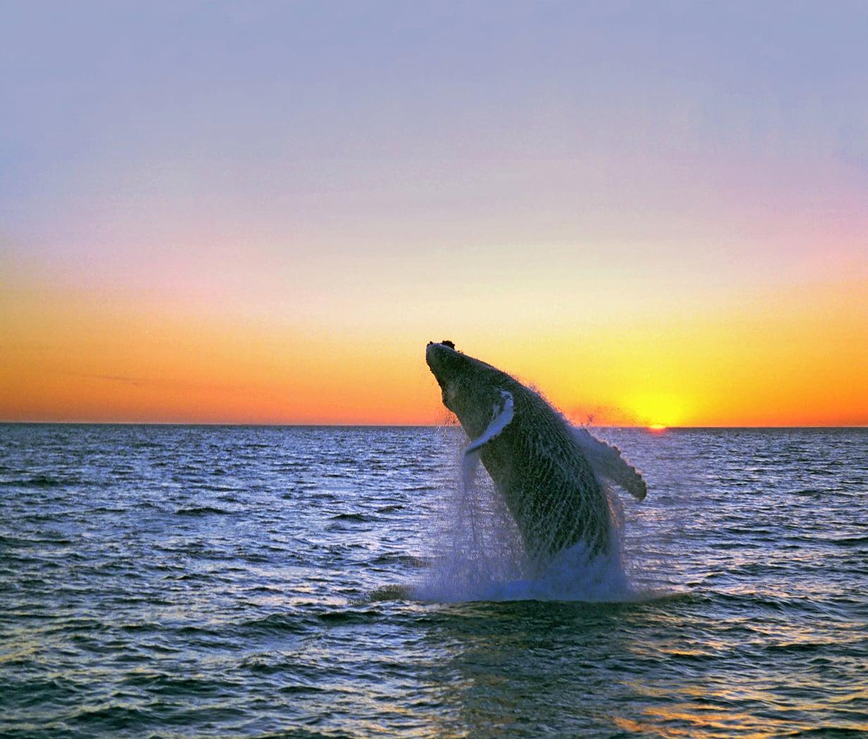 Ryhävalaat viettävät kesät pohjoisen viileissä vesissä ja talvet etelän lämmössä. Uintimatkaa kertyy vuodessa  25 000 kilometriä.