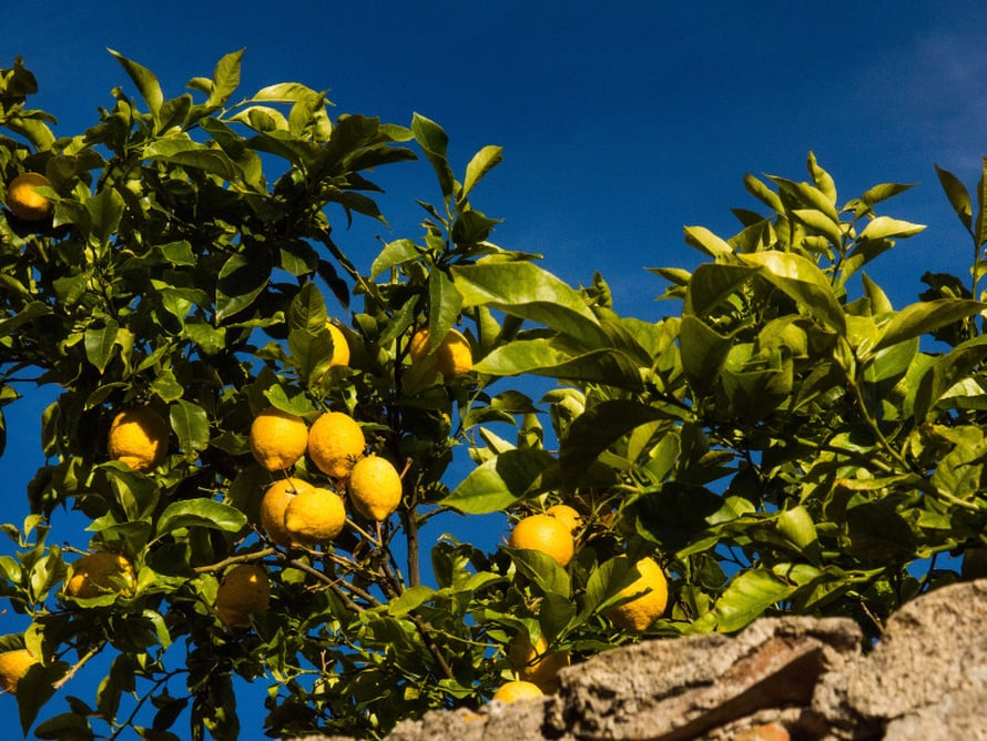 Sitruuna kuuluu Kroatian kulinaarisiin tukipuihin.