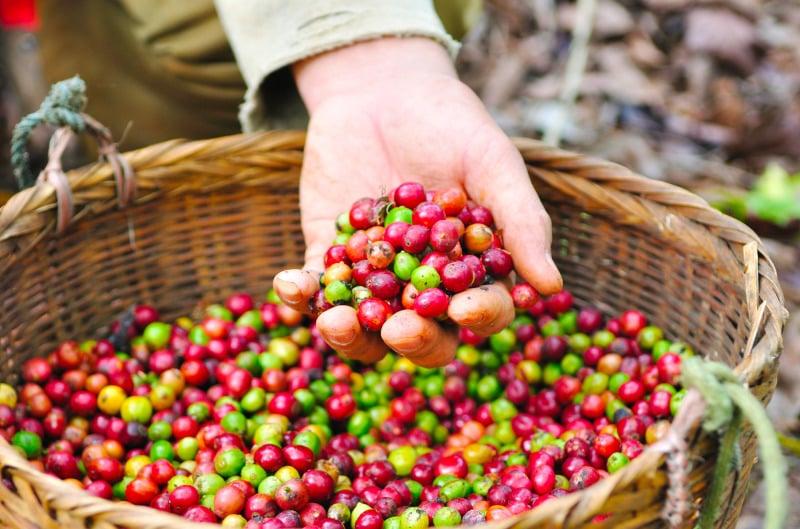 Kahvitiloilla voi seurata kahvinviljelyn arkea. Retket alkaen 17 euroa.