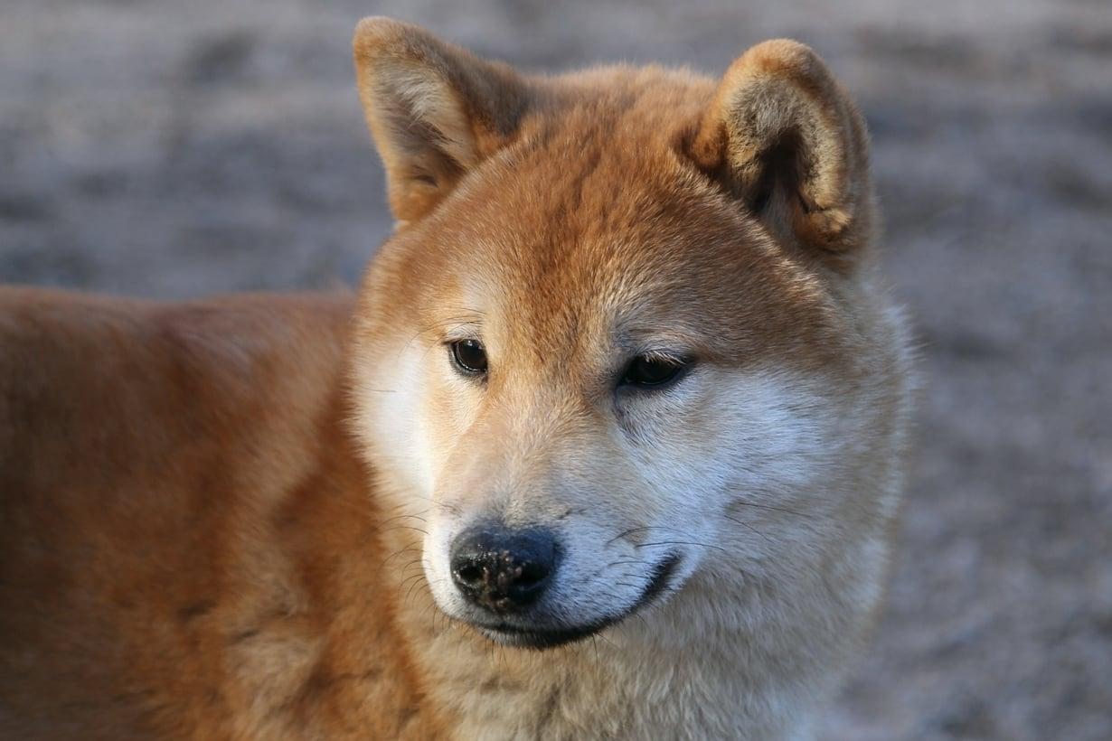 Koiran Kennelyskä