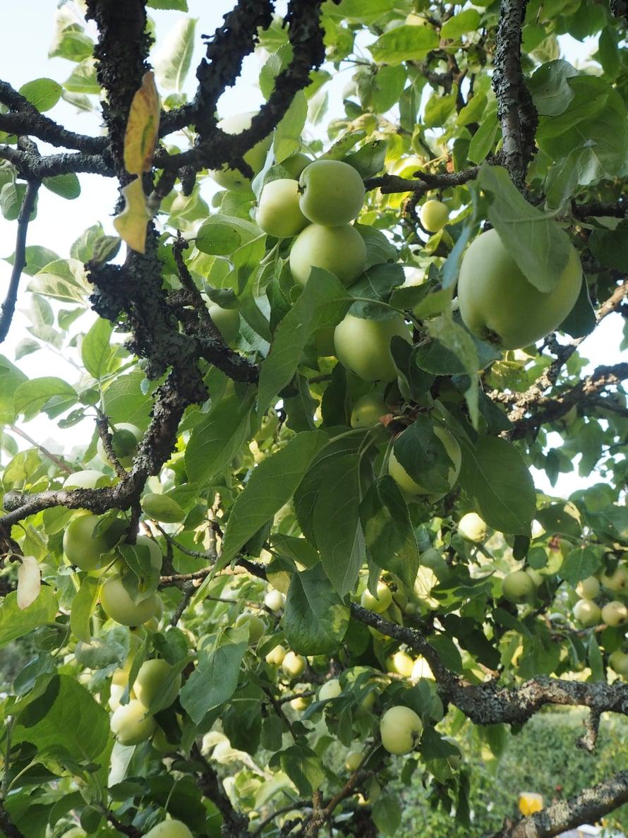 Palasen omenapuita on leikattu säännöllisesti, mutta niiden oksisto on edelleen liian tiheä. Muumiotauti muhii tällaisissa olosuhteissa.
