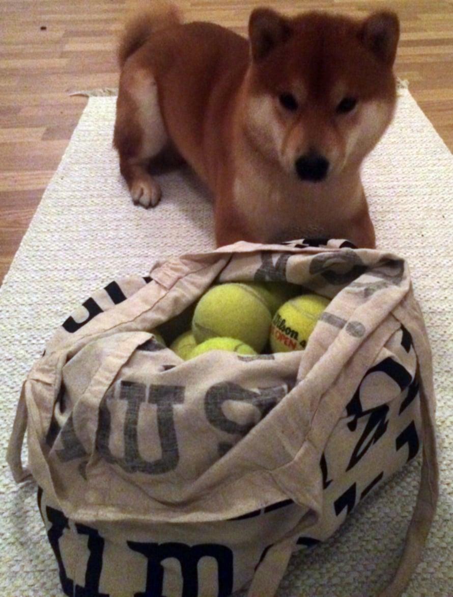 Kun kassillinen tennispalloja saapui kotiin, yllätti se selvästi pallohullun koiran.