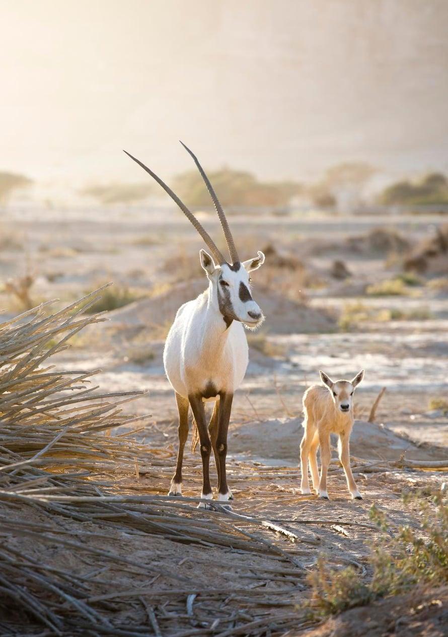 Valkobeisa elää laumassa. Se hävisi luonnosta 1972, mutta pelastettiin sukupuutolta.
