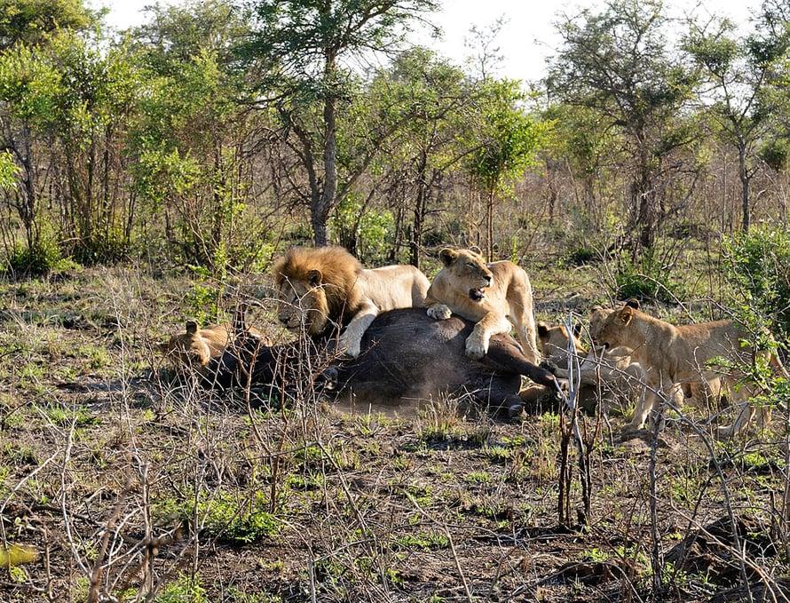 Naarasleijonat käyvät puhvelin kimppuun ensin. Uros tulee apuun, kun saalis on saarrettu.