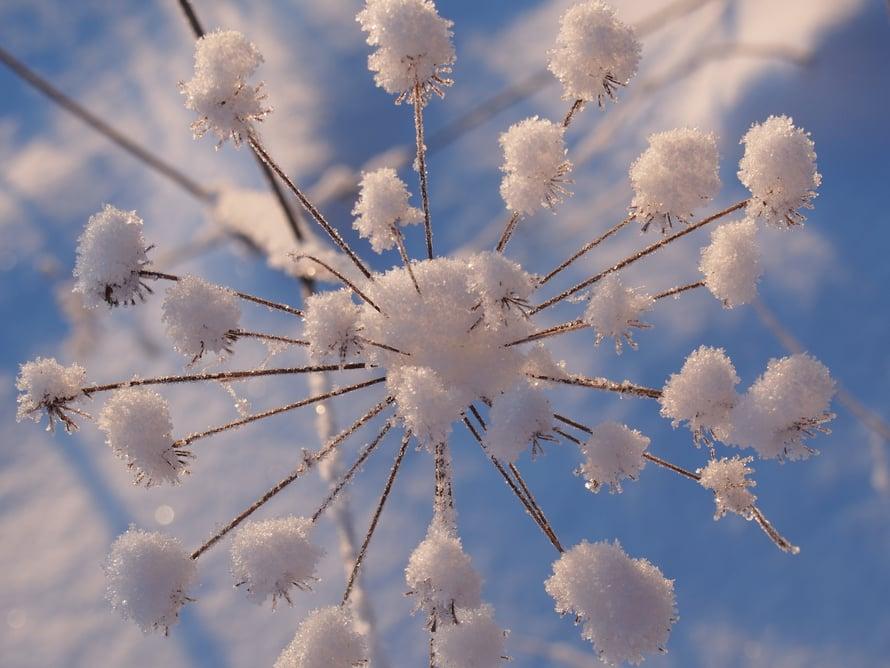 Sumi, Leppävaara: Lumikukka