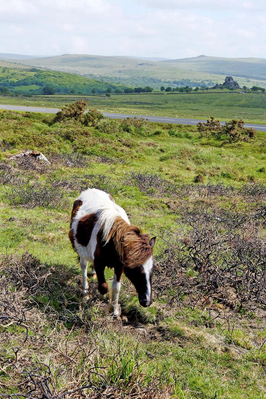 Dartmooren nummi on ponien ja lampaiden laidunmaata.