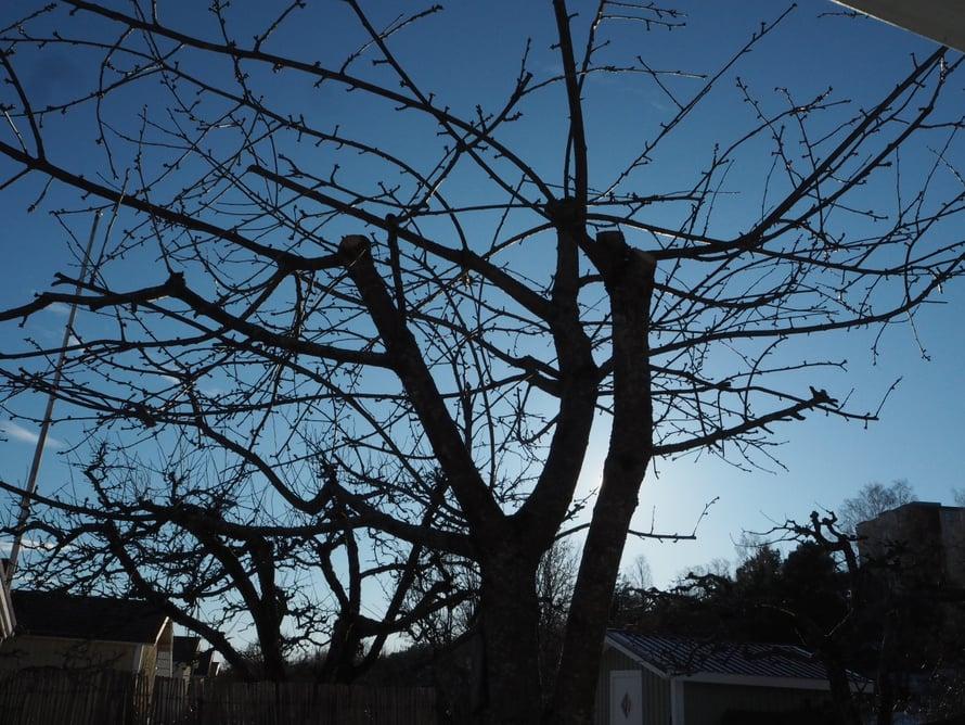 Kirsikkapuut ennen leikkausta ja leikkauksen jälkeen. Sääntöjen mukaan puiden korkeus ei saa ylittää mökin harjakorkeutta.