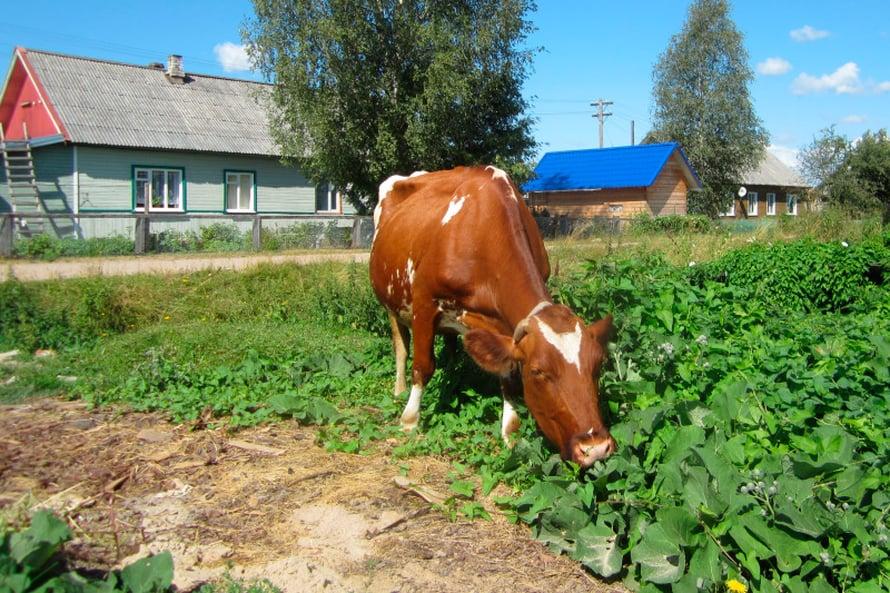 Kuittisen kylässä niin lehmät, koirat kuin kissatkin liikkuvat vapaasti.