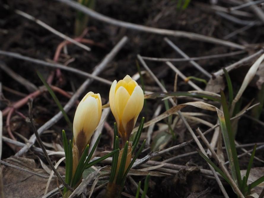 Lumi paljasti Palasen puutarhasta useita lupaavan näköisiä kukkapenkkejä. Seuraan, mitä sieltä löytyy, mutta olen myös esikasvattamassa sinne uusia kukkia. Eivätköhän taimet jonnekin mahdu.