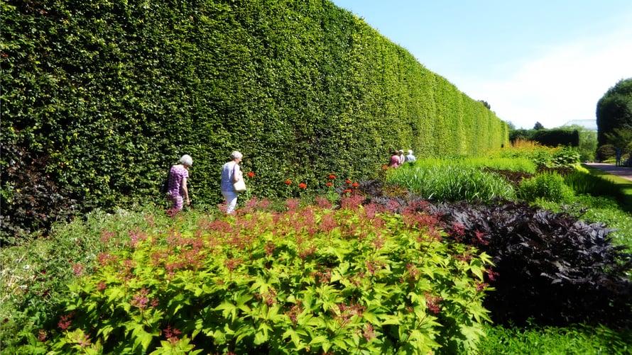 Puutarhan pensasaita on yli kahdeksan metriä korkea ja sata vuotta vanha.