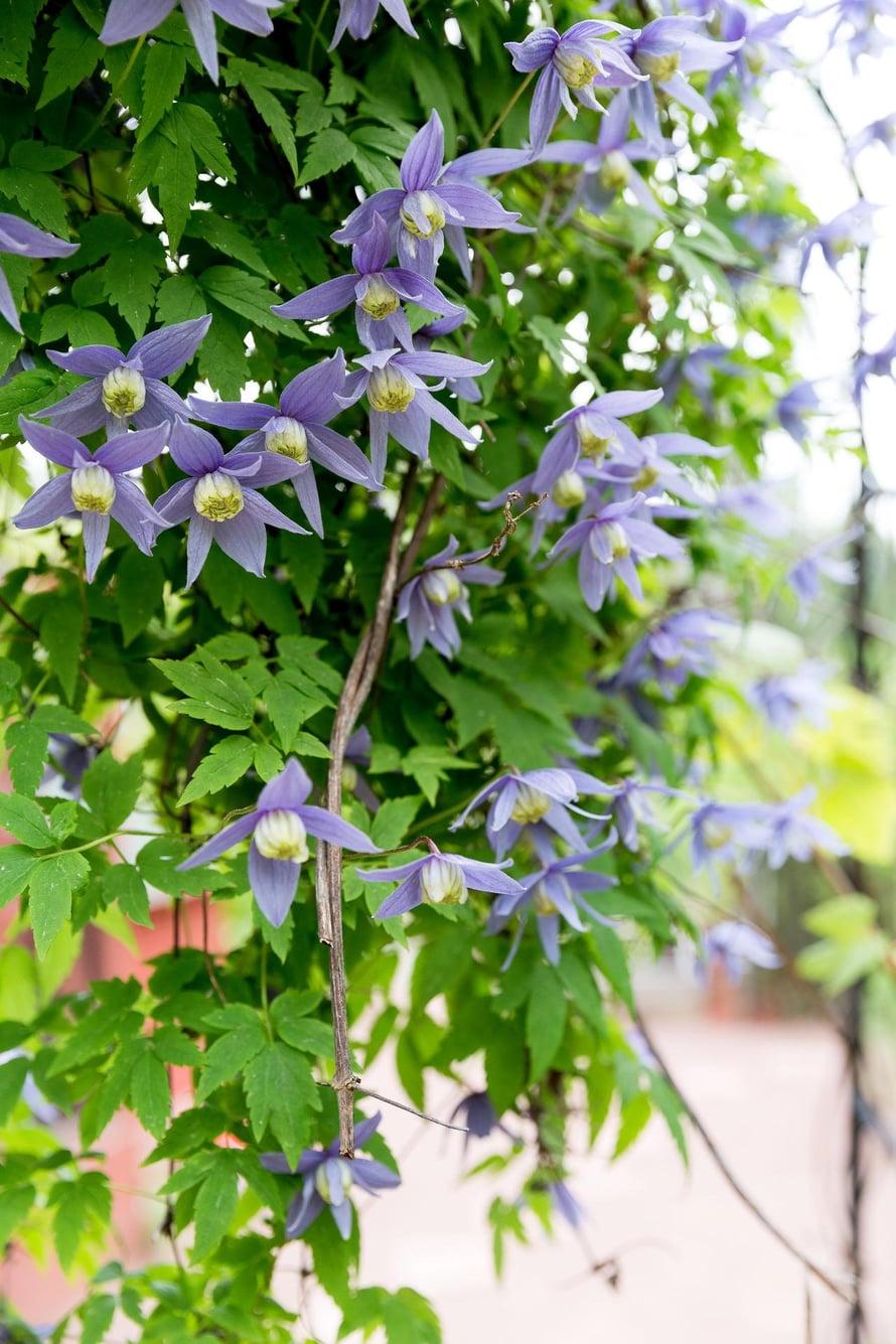 Puutarhasta löytyy paljon eri kärhölajikkeita. ENsimmäisenä kukassa ovat alppikärhöt.