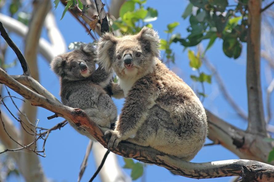 Koala elää vain maan itä- ja eteläosissa.