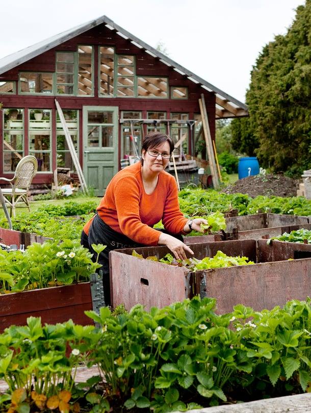 Lotta kasvattaa laatikoissa mansikoita, porkkanoita ja palsternakkaa.
