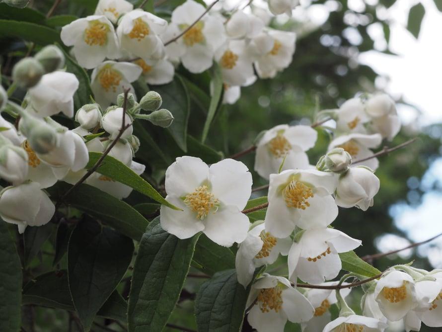 Ruusutarha oli heinäkuun alussa parhaimmillaan.