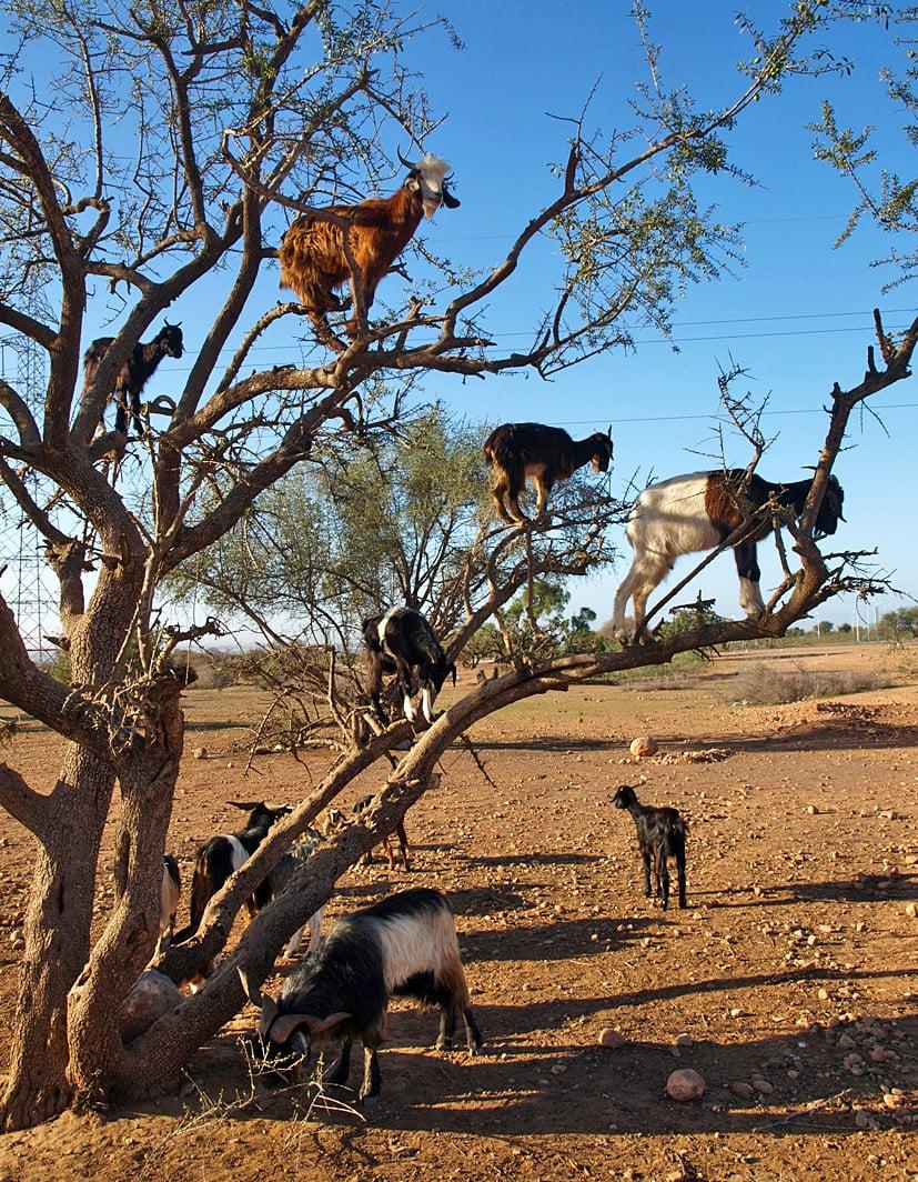 Vuohet kiipeilevät arganpuissa syömässä lehtiä.