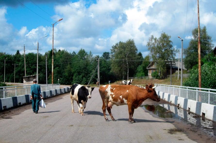 Kuittisen kylät lehmät liikkuvat vapaasti missä haluvat!