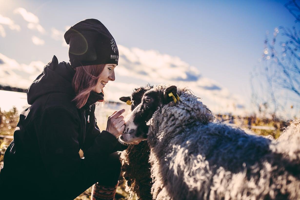 Tilan lampaat ovat uhanalaisia kainuunharmaita.
