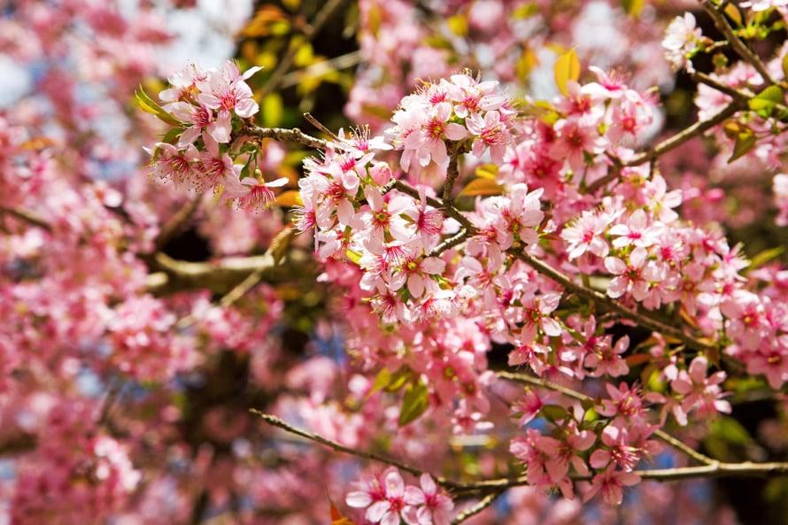 Puut kukkivat keväällä maaliskuusta toukokuulle.
