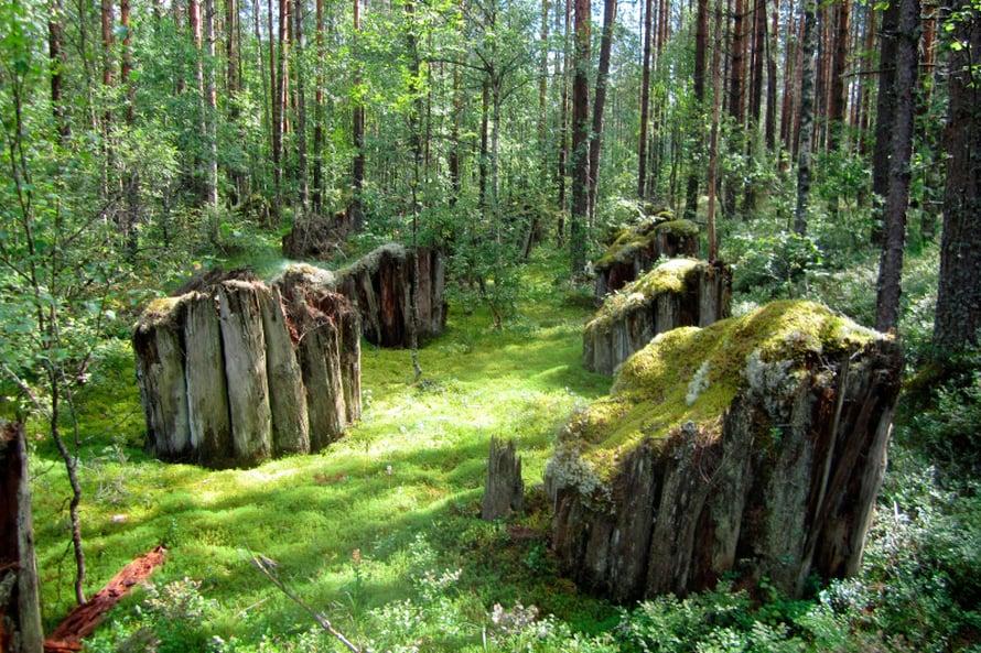 PSS-linjan rauniot Karjalan metsissä kasvavat mustikkaa.