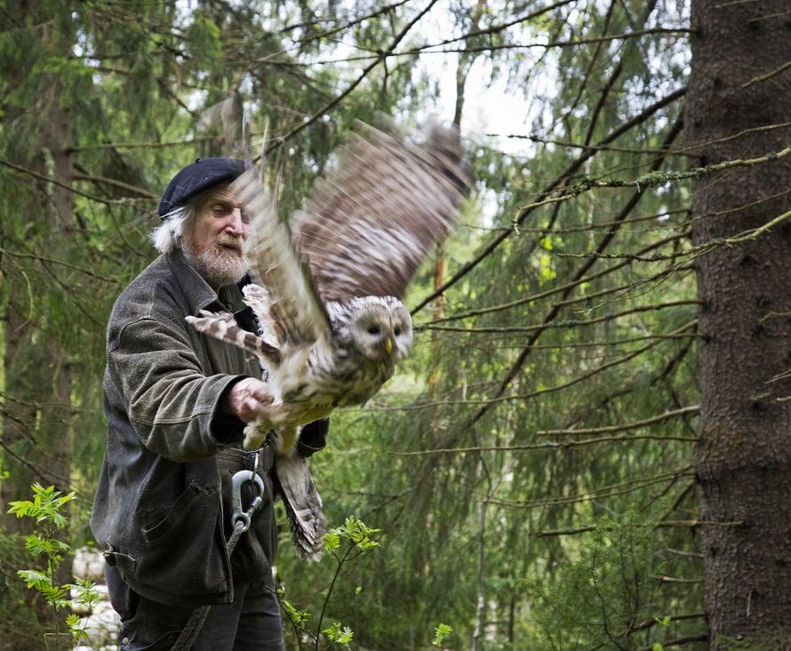 Vapaa! Töpäkkä kroppa ei ole erityisen aerodynaaminen, mutta viirupöllö ei lennäkään pitkiä matkoja.