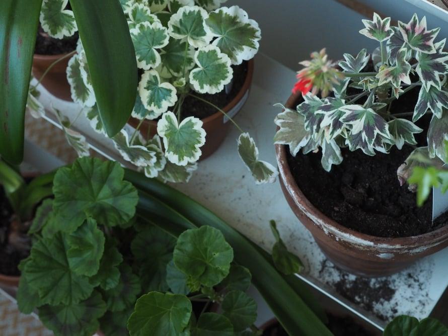 Amaryllikset maastoutuivat kesällä parvekkeella hyvin, mutta kyllä niitä siellä vilahtaa lähes joka kuvassa.
