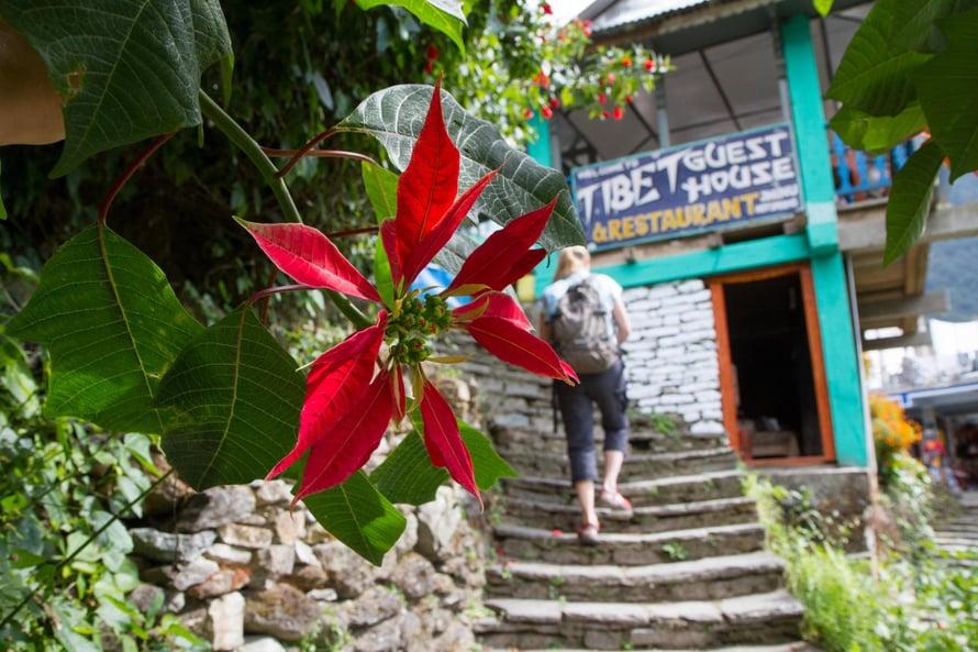 Jättimäiset joulutähdet kukkivat Nepalissa jo hyvissä ajoin ennen joulua.