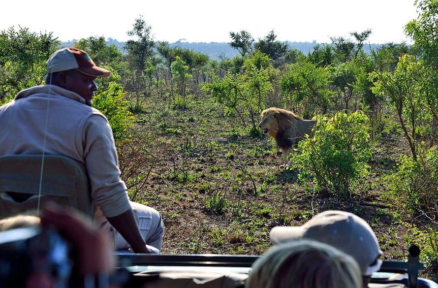 Leijonat eivät häiriinny ihmisistä. Safarilla voi päästä seuraamaan aivan vierestä, kun ne metsästävät.
